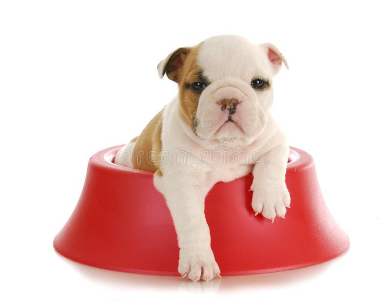 Het puppy van de buldog stock afbeeldingen