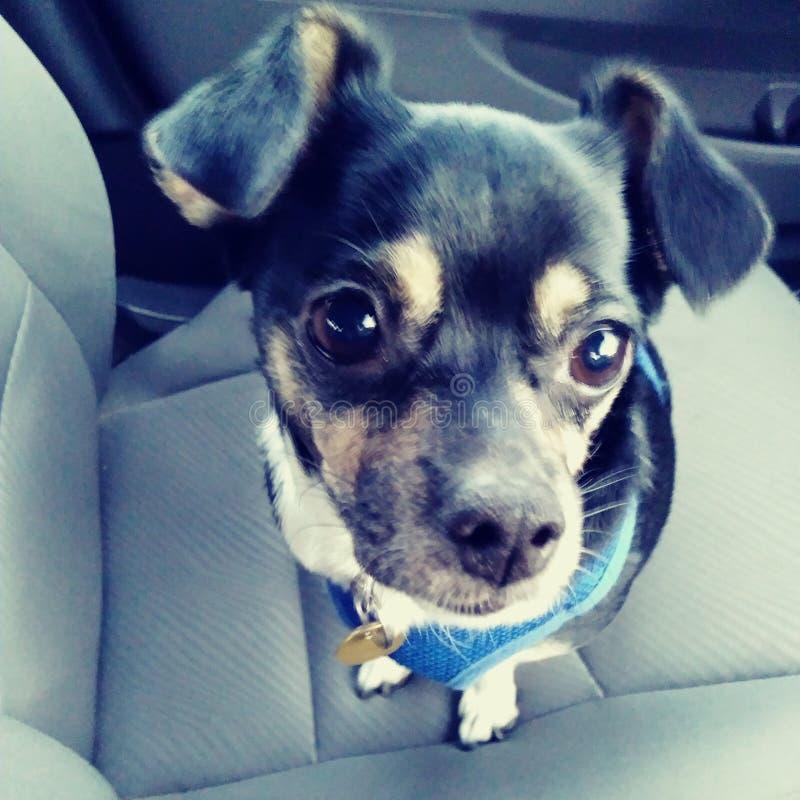 Het puppy van de Chihuahuahond het leuke aanbiddelijke berijden in slappe de oren zwarte tan van auto grote ogen en witte aanbidd stock afbeelding