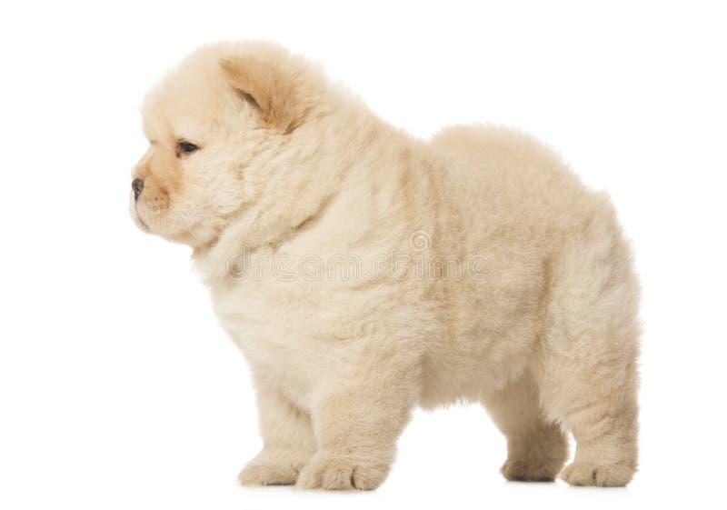 Het puppy van de chow-chow royalty-vrije stock foto's