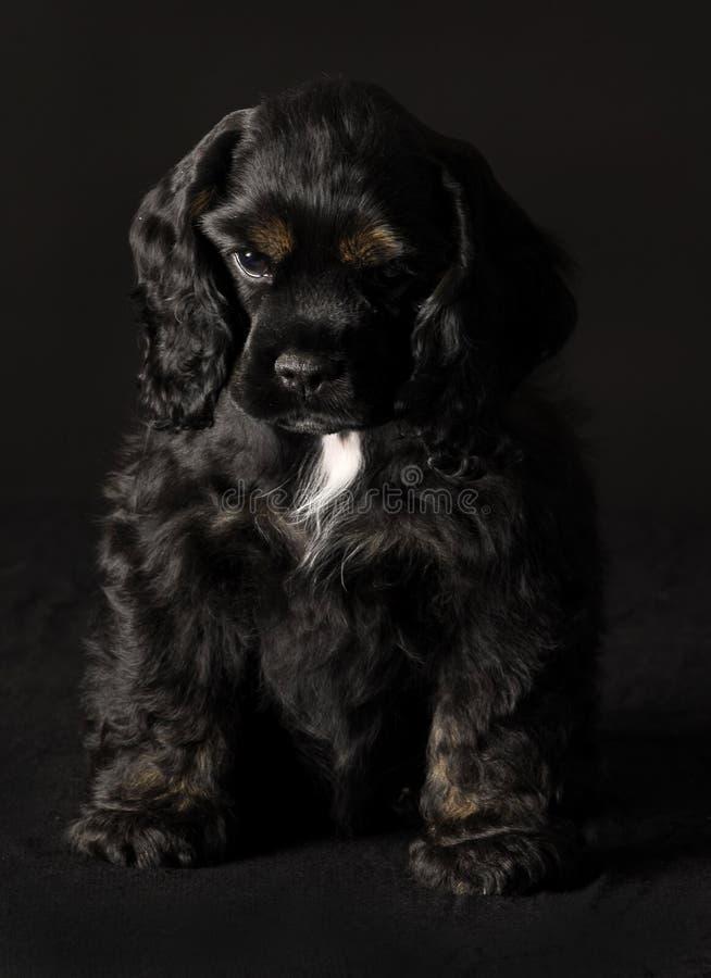 Het puppy van de cocker-spaniël royalty-vrije stock afbeeldingen