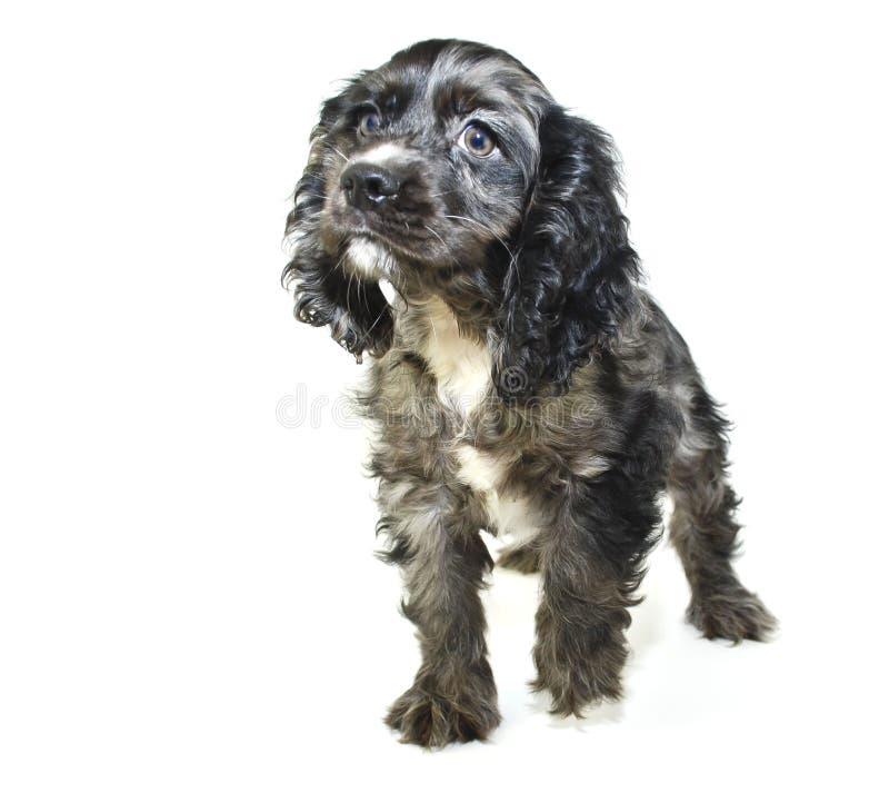 Het Puppy van de cocker-spaniël royalty-vrije stock foto's