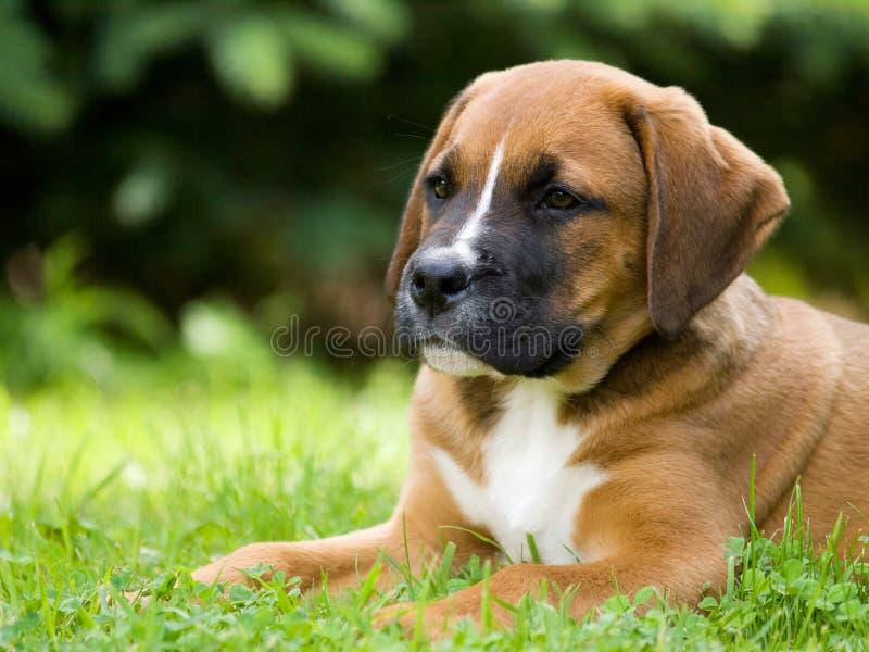 Het Puppy Van De Crossbreadhond Royalty-vrije Stock Foto's