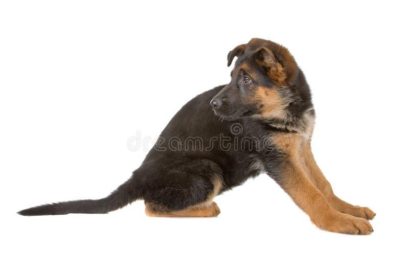 Het puppy van de Duitse herder royalty-vrije stock afbeeldingen