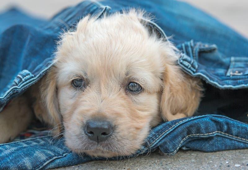 Het puppy van de golden retrieverhond in denim die op de grond leggen royalty-vrije stock foto