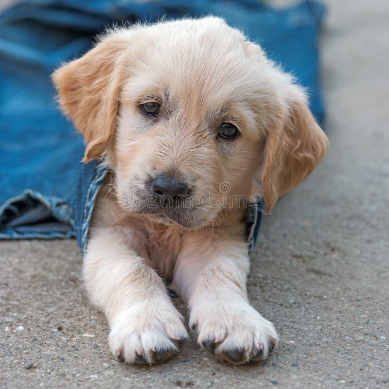 Het puppy van de golden retrieverhond in denim die op de grond leggen royalty-vrije stock fotografie