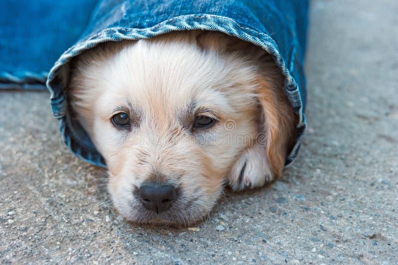 Het puppy van de golden retrieverhond in denim die op de grond leggen royalty-vrije stock foto's