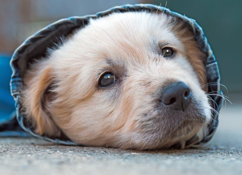 Het puppy van de golden retrieverhond in denim die op de grond leggen stock foto