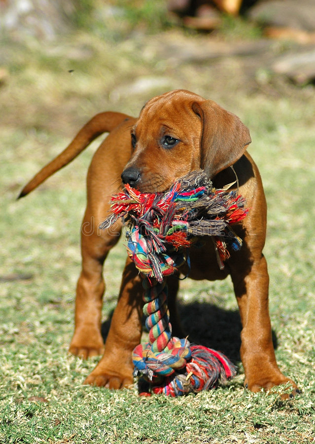 Het puppy van de hond met stuk speelgoed