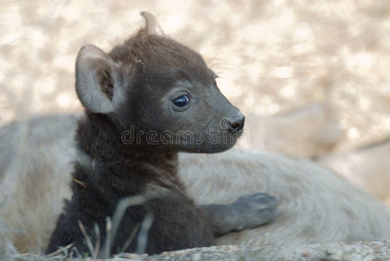 Het puppy van de hyena royalty-vrije stock afbeeldingen
