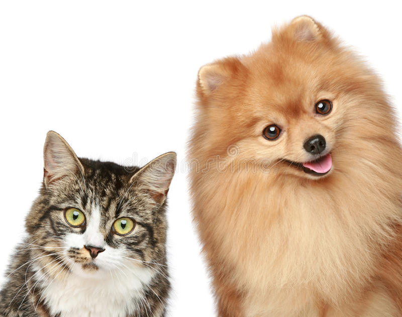 Het puppy van de kat en Spitz royalty-vrije stock fotografie
