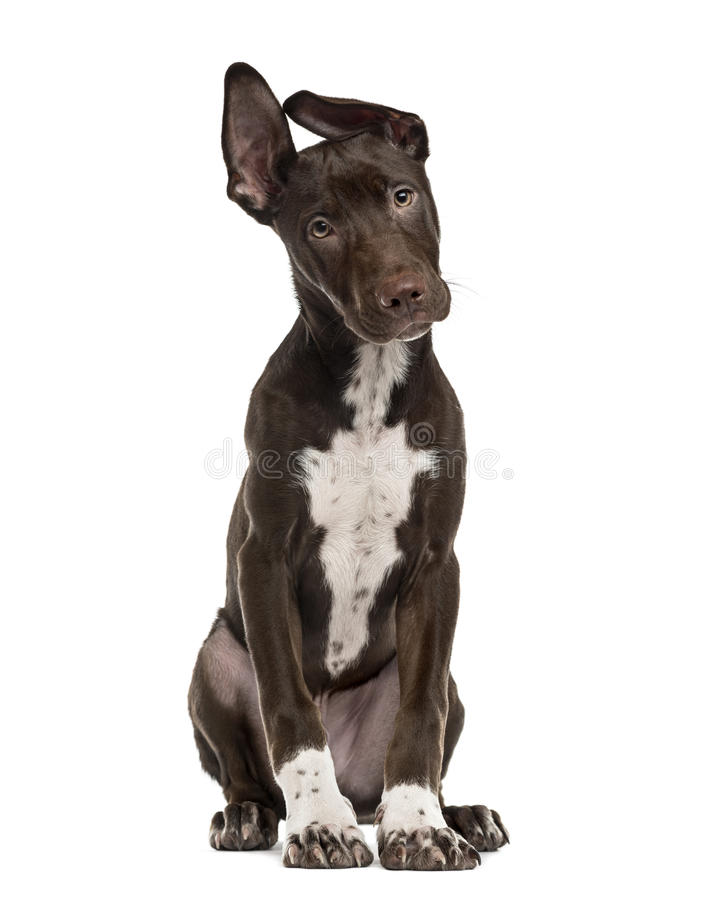 Het puppy van de kruisingshond op wit wordt geïsoleerd dat royalty-vrije stock fotografie