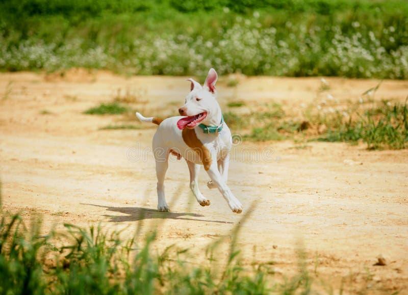 Het puppy van de kuilstier het lopen royalty-vrije stock foto's