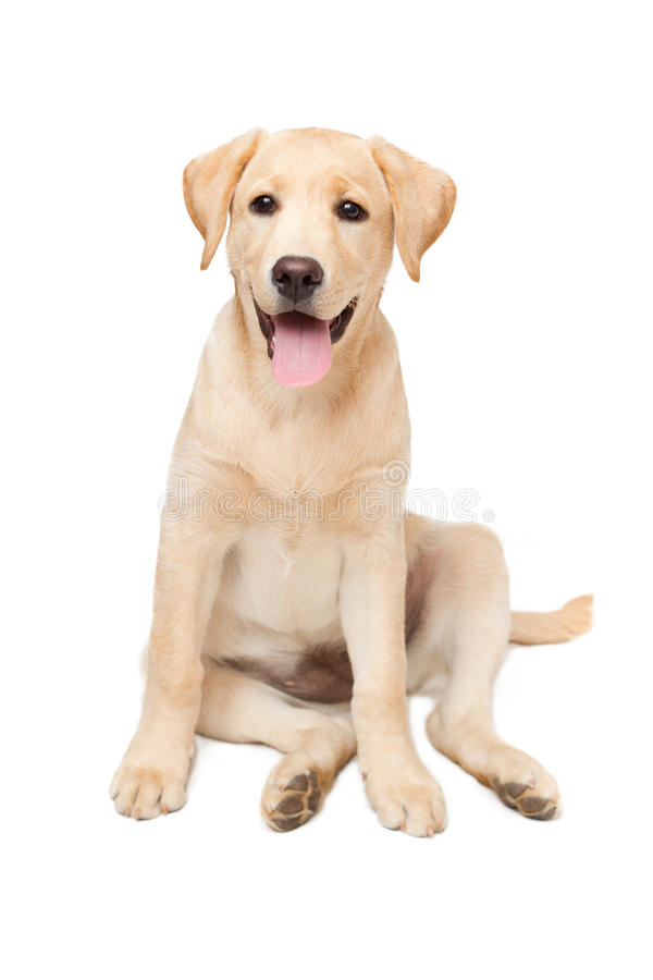 Het puppy van de labrador stock foto's