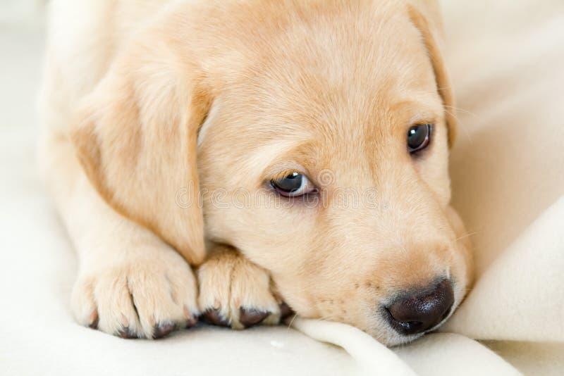 Het puppy van de labrador stock afbeelding
