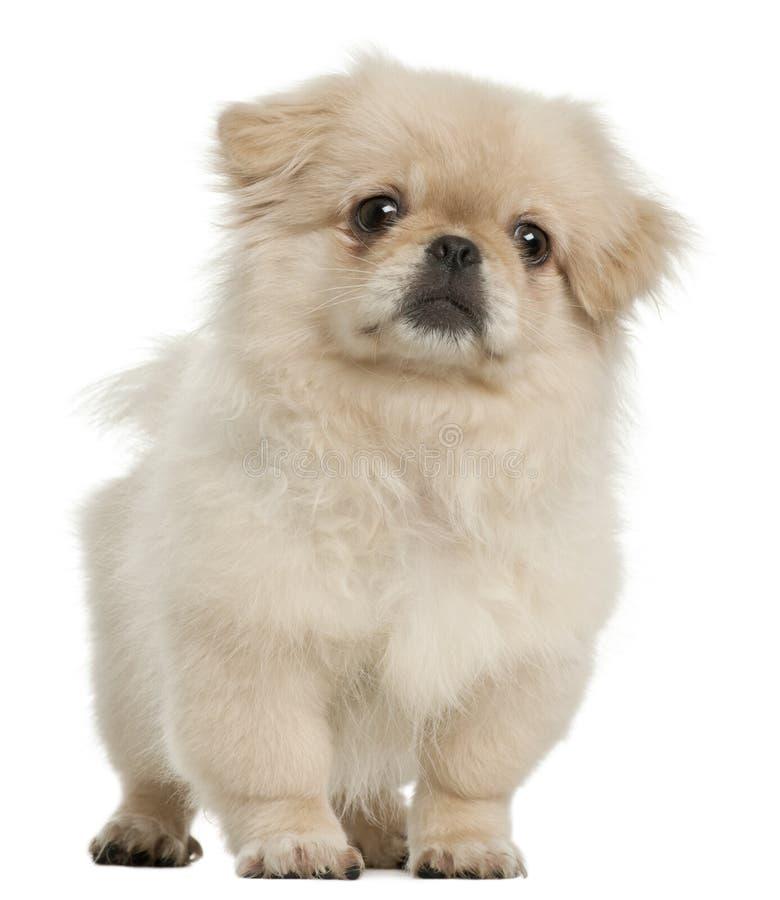 Het puppy van de pekinees, 5 maanden oud, status royalty-vrije stock fotografie