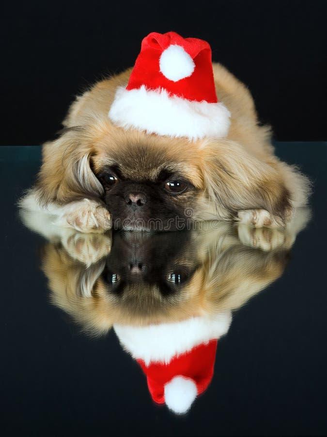 Het puppy van de pekinees op spiegel met santahoed royalty-vrije stock afbeeldingen