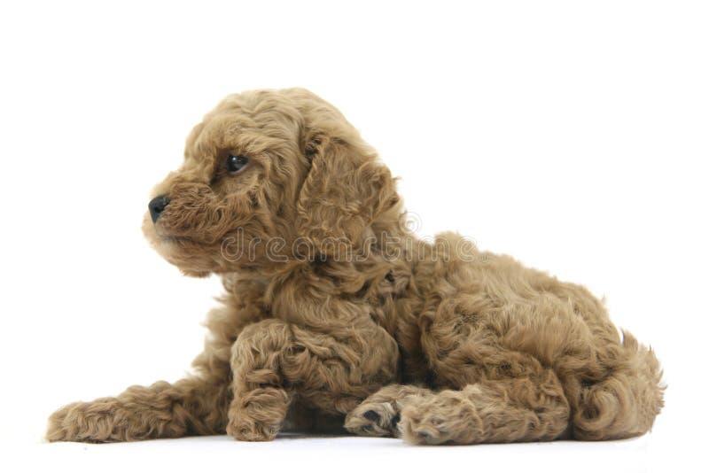 Het puppy van de poedel stock foto's