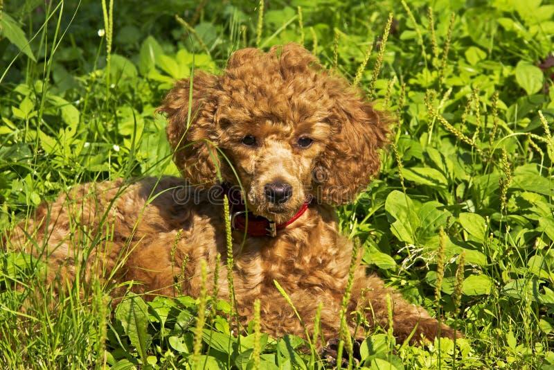 Het puppy van de poedel ligt op het gras stock foto