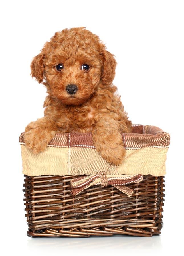 Het puppy van de poedel in mand stock fotografie
