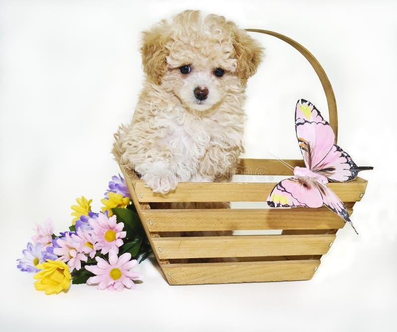 Het Puppy van de Poedel van het stuk speelgoed met Vlinder royalty-vrije stock afbeelding