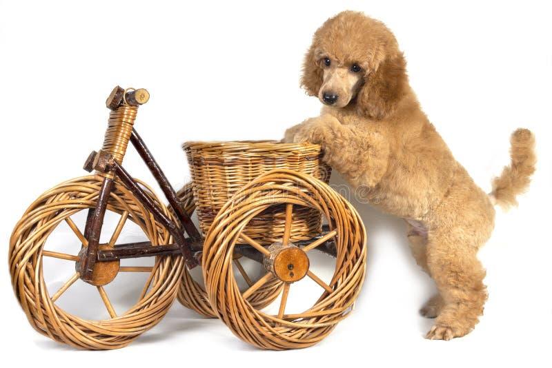 Het puppy van de poedelabrikoos bevindt zich met zijn voorpoten op een houten stuk speelgoed fiets en ziet neer eruit royalty-vrije stock afbeelding