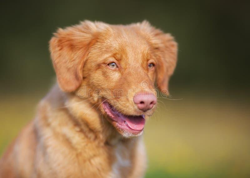 Het puppy van de Retriever van de Tol van de Eend van Nova Scotia stock foto