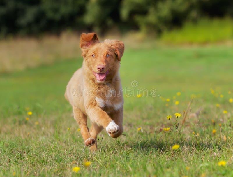 Het puppy van de Retriever van de Tol van de Eend van Nova Scotia stock fotografie