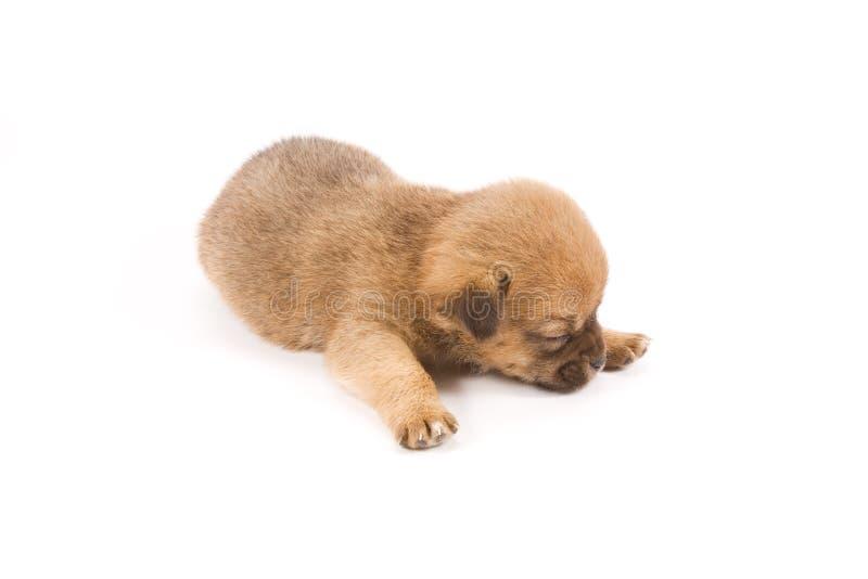 Het puppy van de slaap royalty-vrije stock foto's