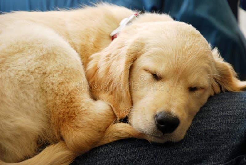 Het puppy van de slaap stock foto's