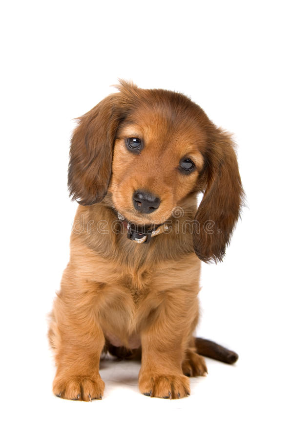 Het puppy van de tekkel royalty-vrije stock afbeelding