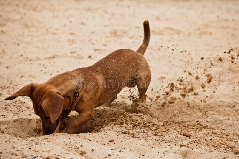 Het puppy van de tekkel graaft gat op strandzand stock fotografie
