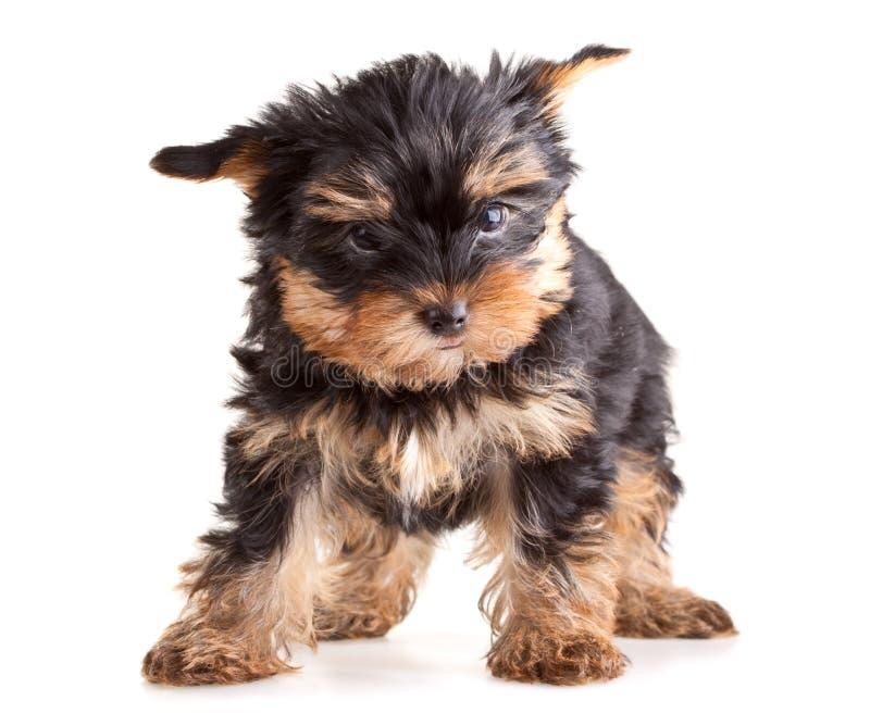 Het puppy van de Terriër van Yorkshire royalty-vrije stock foto's