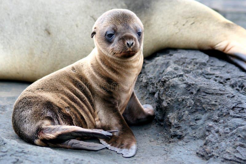 Het Puppy van de zeeleeuw royalty-vrije stock foto