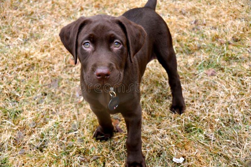Het Puppy van het chocoladelaboratorium royalty-vrije stock afbeeldingen