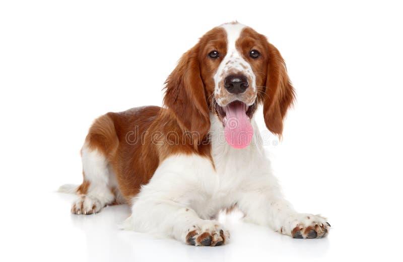 Het puppy van het Spaniel van de aanzetsteen op een witte achtergrond stock afbeeldingen