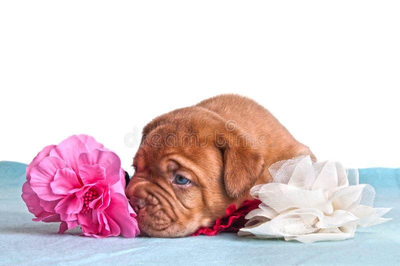 Het puppy van het warhoofd royalty-vrije stock fotografie
