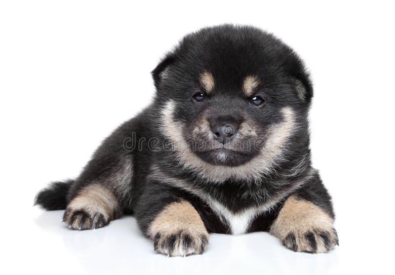 Het puppy van Inu van Shiba (één maand) stock afbeeldingen