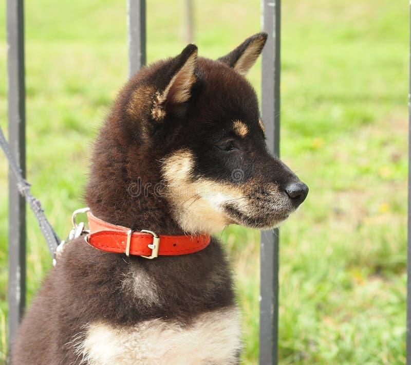 Het puppy van Inu van Shiba royalty-vrije stock afbeelding