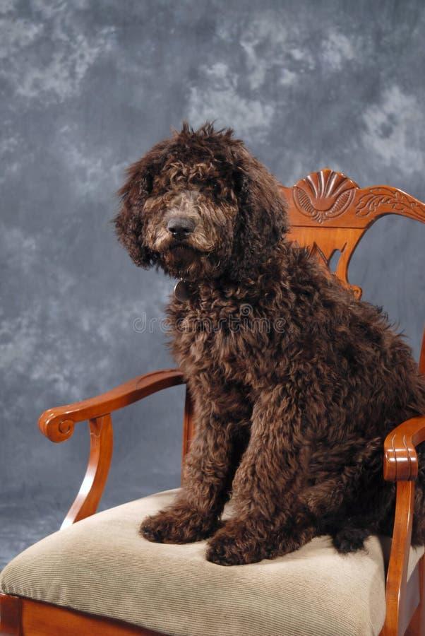 Het Puppy van Labradoodle royalty-vrije stock foto