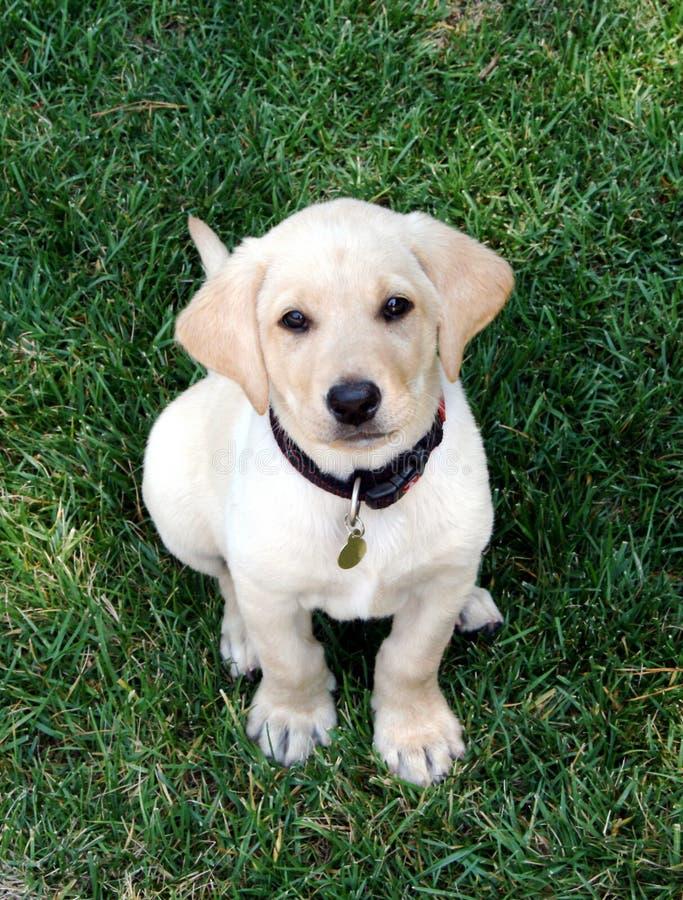 Het Puppy van Labrador stock foto's