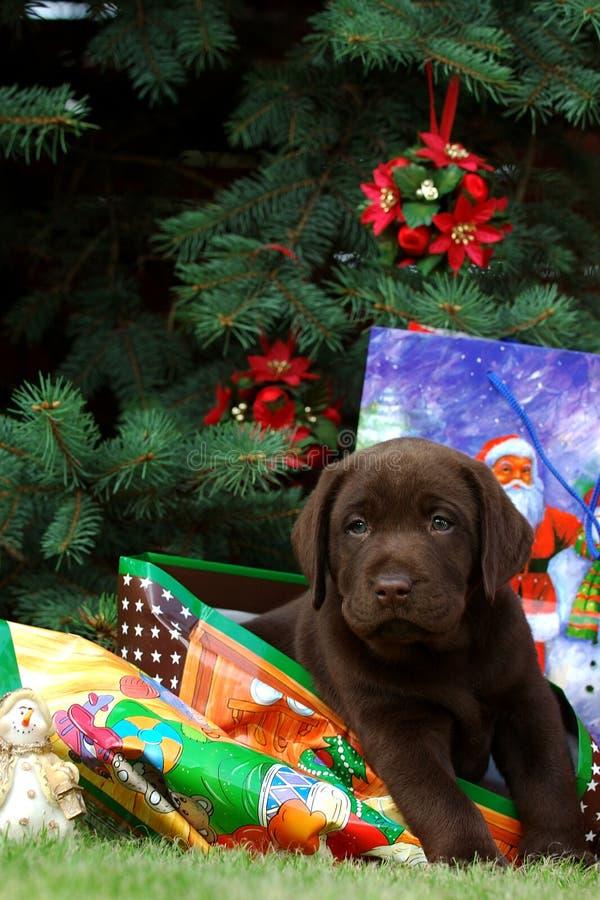 Het puppy van Labrador - gift stock afbeelding