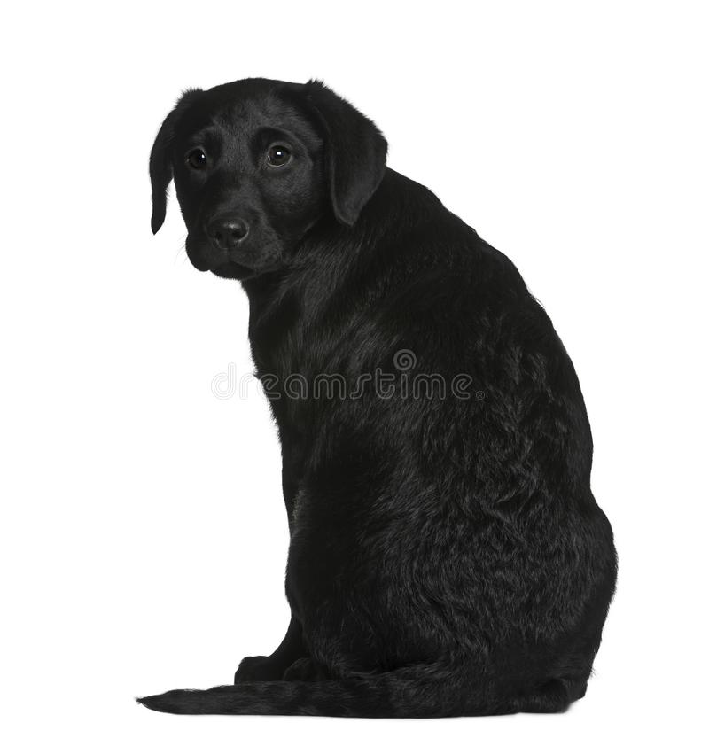 Het puppy van Labrador, 3 maanden oud stock fotografie