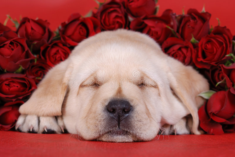 Het puppy van Labrador van de slaap met r stock afbeeldingen