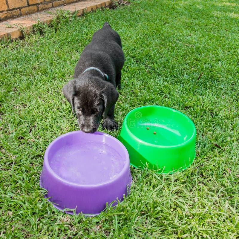 Het Puppy van Labrador in Waterbowl royalty-vrije stock afbeelding