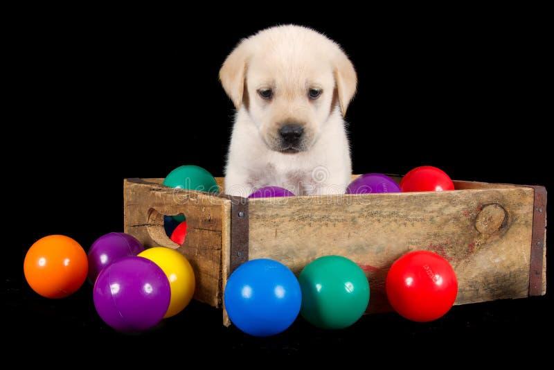 Het puppy van Labrador zit in houten doos met kleurrijke ballen royalty-vrije stock foto