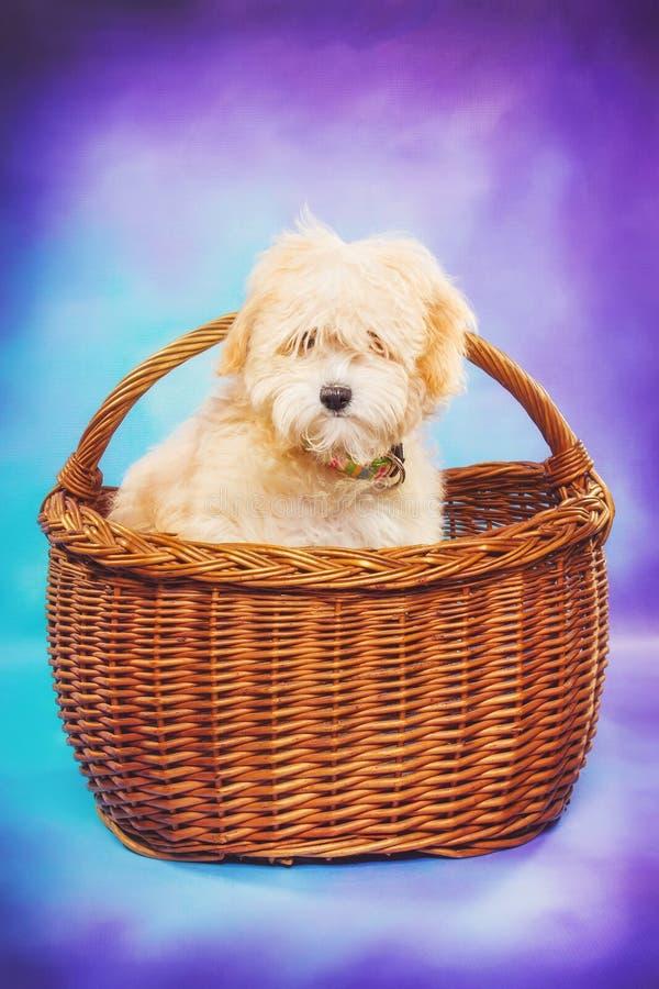 Het puppy van Maltees/van de poedel in een picknickmand stock afbeeldingen