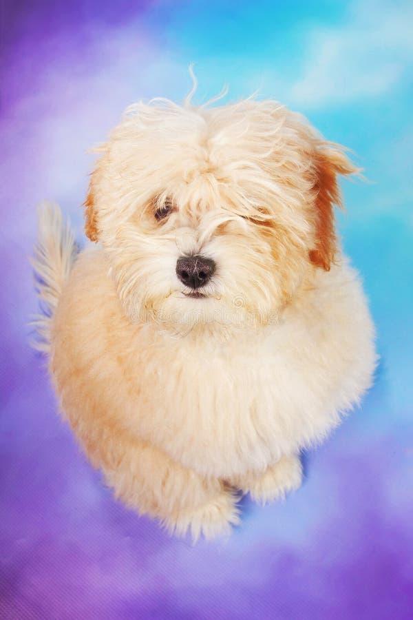 Het puppy van Maltees/van de poedel tegen pastelkleurachtergrond royalty-vrije stock foto