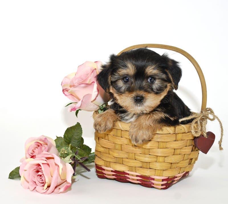 Het Puppy van Morkie stock afbeelding