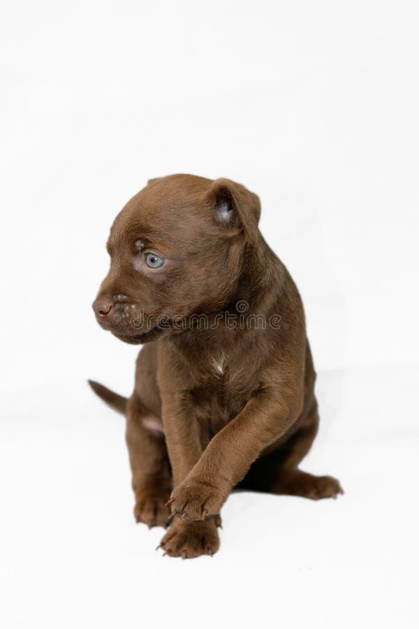 Het puppy van Patterdale stock foto's