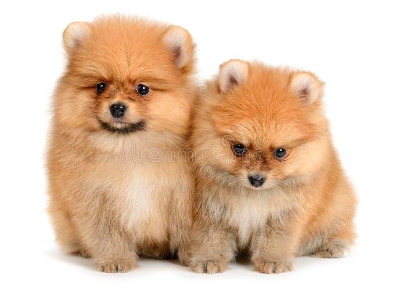 Het puppy van Pomeranian stock foto's